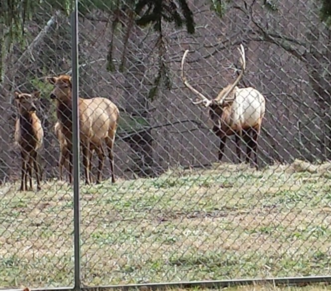 Elk at French Creek
