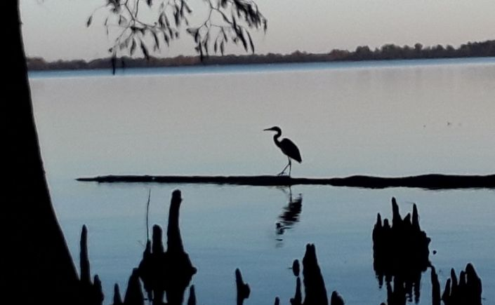 Great Blue Heron striding along a drifting log in Reelfoot Lake State Park, Tennessee